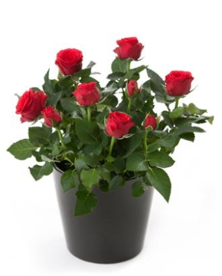 Rose Plant in a Gift Bag