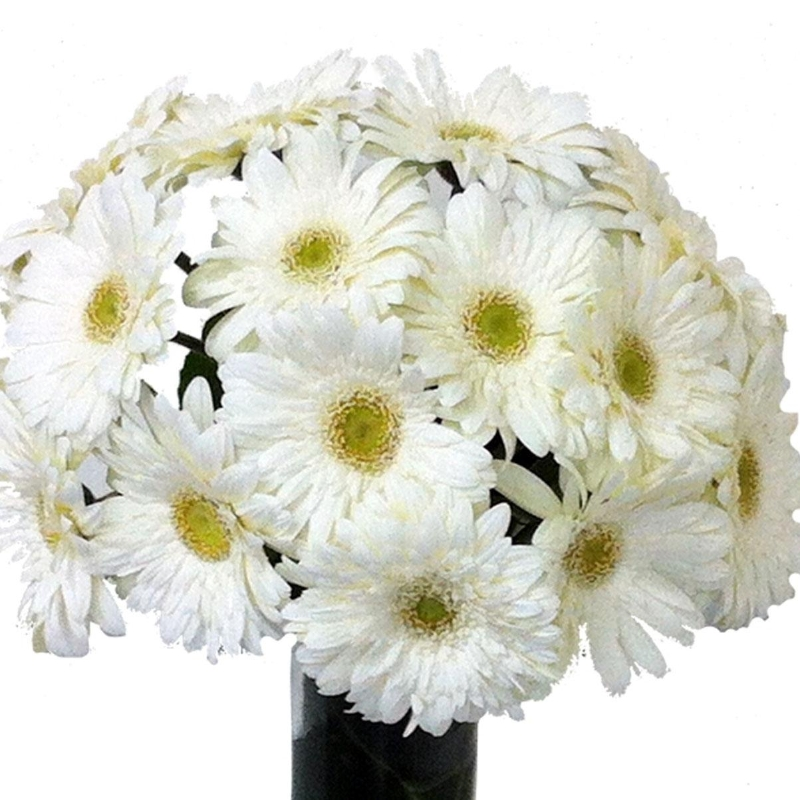 12 white gerberas flowers delivery 4 u southall middlesex 12 white gerberas mightylinksfo