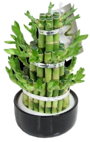 Lucky Bamboo Carousel in a Ceramic Pot